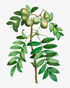 Sorbieren sie apfelbaum