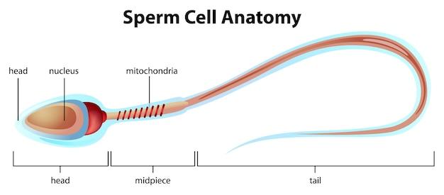 Spermien-zellstruktur