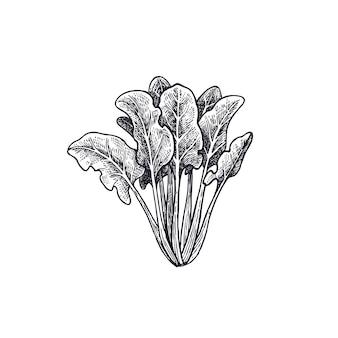 Spinat isoliert auf weißem korbgrund.