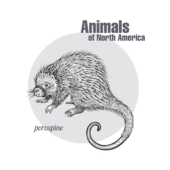 Stachelschwein. tiere der nordamerika-serie.