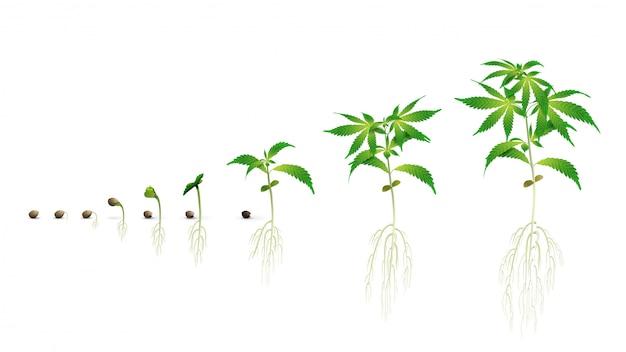Stadien der keimung von cannabissamen von samen zu spross, die vegetationsperiode von cannabis, marihuana-phasen eingestellt, realistische illustration isoliert auf einem weißen hintergrund zum drucken