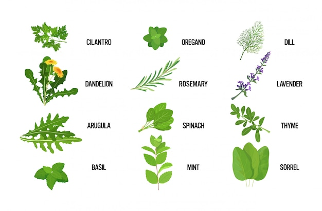 Stellen sie realistische frische kräutergrünblätter-sammlung gesundes nahrungsmittelkonzept horizontal ein