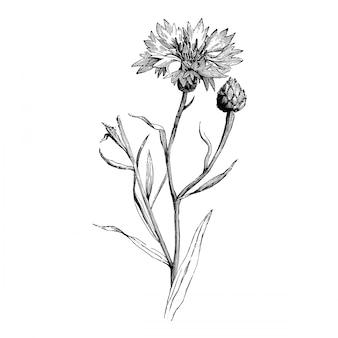 Stichblume und knospe von centaurea cyanus vintage illustrations