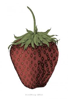 Strawberry handzeichnung vintage gravur illustration stil