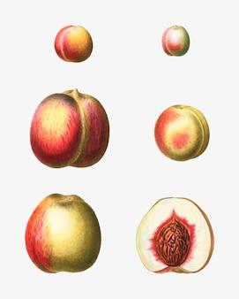 Stufen eines pfirsichs