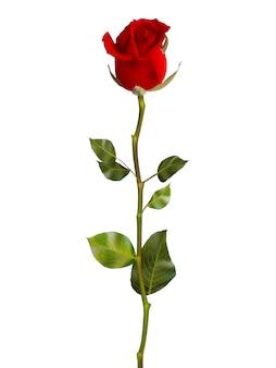 Süße rote rosen.