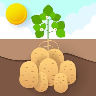 Süßkartoffeln in der gartenillustration