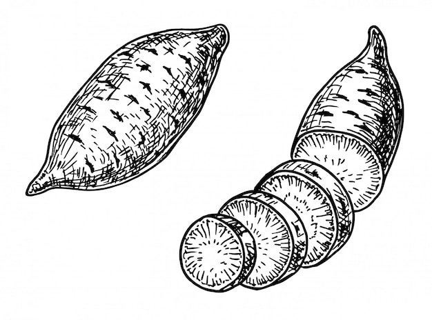 Süßkartoffelsatzillustration. gemüsegraviertes stilobjekt.