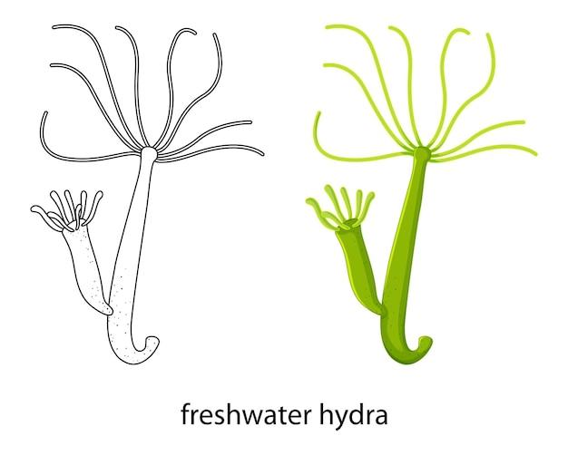 Süßwasserhydra in farbe und doodle auf weiß