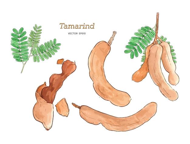 Tamarinde wasserfarbe hand zeichnen skizze.