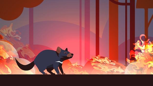 Tasmanischer teufel, der von den waldbränden in australien-tier stirbt im naturkatastrophenkonzept der brennenden bäume des verheerenden feuers bushfire die intensiven orange horizontalen flammen entgeht