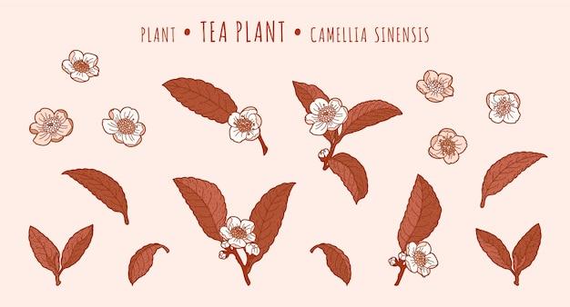 Teepflanze. kamelienblätter und blüten auf zweigen