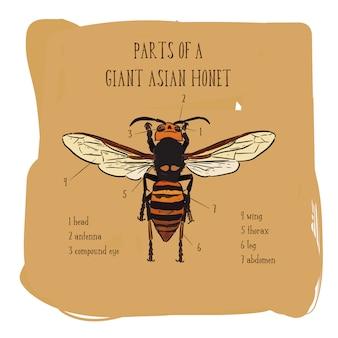Teil der skizze des hornissen in der hand abgehobenen betrages