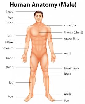 Teile des menschlichen körpers