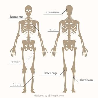 Teile des skeletts