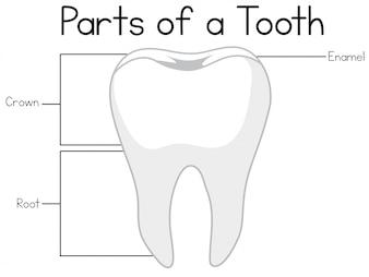 Teile eines Zahnes