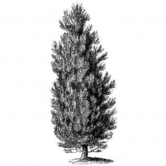 Thuja Baum Vintage Illustrationen