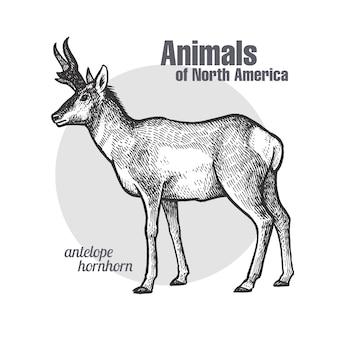 Tier der nordamerika pronghorn antilope.