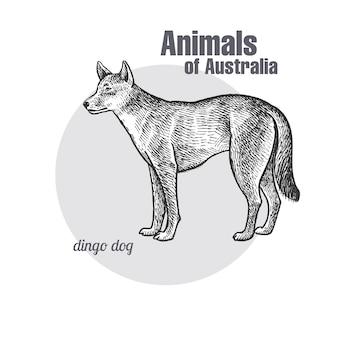 Tiere von australien. dingo dog.