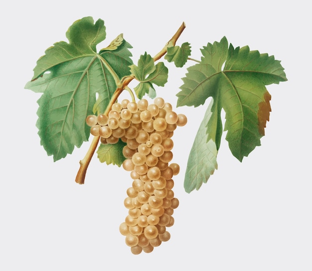 Trebbiano-trauben von pomona italiana-illustration