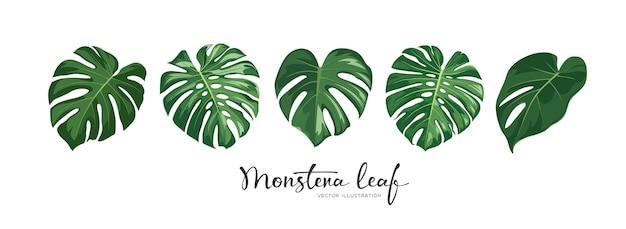 Tropische sammlung des grünen blattes monstera