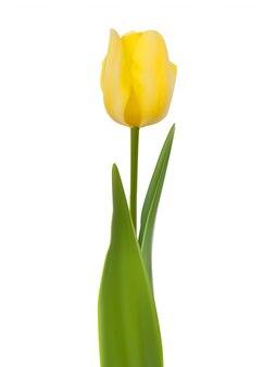 Tulpe isoliert auf weiß