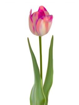 Tulpenblume lokalisiert auf weiß