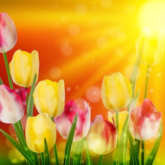 Tulpenfeld während des sonnenuntergangs.