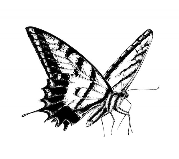 Übergeben sie die gezogene skizze des schmetterlinges in der schwarzen farbe, lokalisiert.
