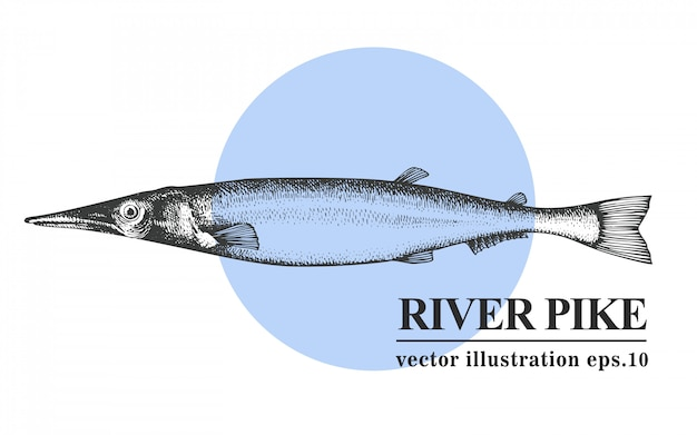 Übergeben sie gezogene skizzenmeeresfrüchte-vektorweinleseillustration von flussspießfischen