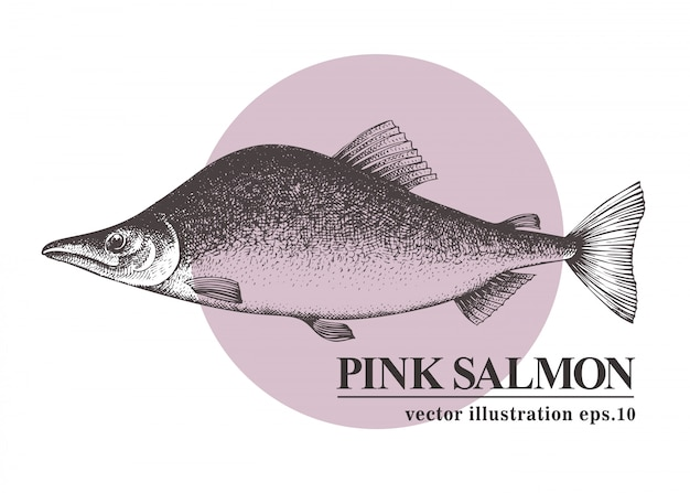 Übergeben sie gezogene skizzenmeeresfrüchte-vektorweinleseillustration von rosa lachsfischen.