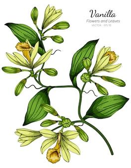 Vanilleblumen- und blattzeichnungsillustration mit strichzeichnungen auf weißem hintergrund.