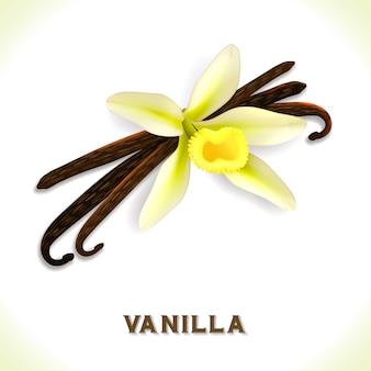 Vanilleschote isoliert