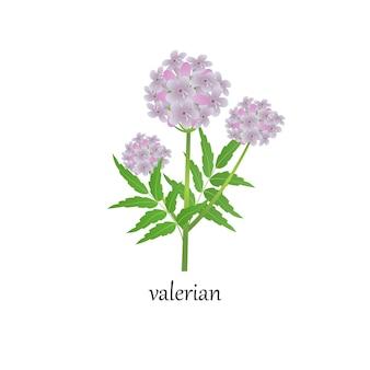 Vector illustration eines zweiges des blühenden baldrians, einer heilpflanze, lokalisiert auf einem weißen hintergrund. bild eines beruhigenden krauts in der volksmedizin.