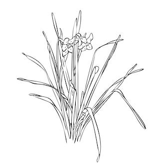 Vector illustration, isolierte narzissenblume mit blättern in schwarzen und weißen farben, handgemalte zeichnung des umrisses
