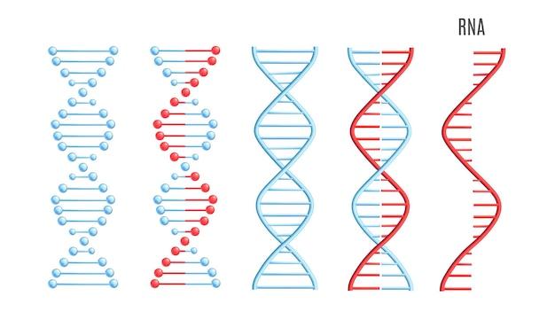 Vektor dna rna molekül helix spirale genetischen code Premium Vektoren