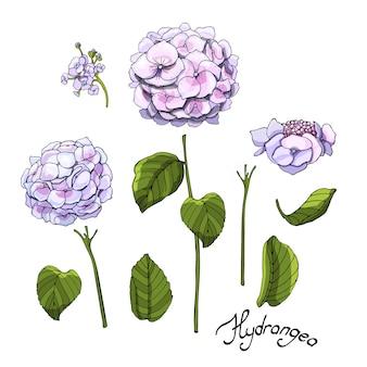 Vektor gartenblumen. satz der rosa und blauen blühenden hortensie mit den knospen