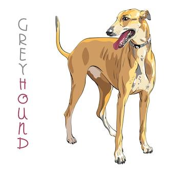 Vektor greyhound hunderasse