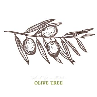 Vektor olivenbaumzweig. mediterrane italienische oder griechische lebensmittelzutat.