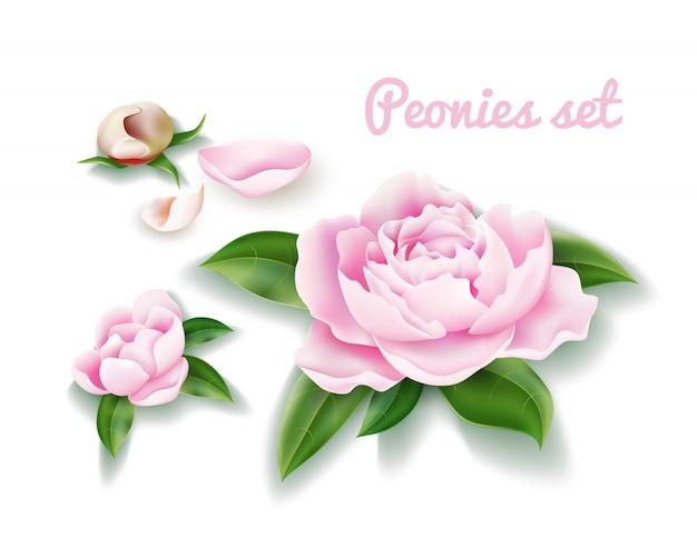 Vektor pfingstrosenblumensatz. knospen, blütenblatt