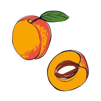 Vektorillustration einer farbigen aprikose auf einem weißen lokalisierten hintergrund