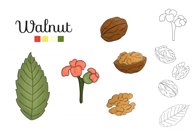 Vektorsatz walnussbaumelemente lokalisiert. botanische illustration des walnussblattes, brunch, blumen, nüsse. schwarz-weiß-clipart.