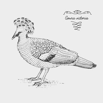 Victoria crowned pigeon gravierte, handgezeichnete illustration im holzschnitt-scratchboard-stil