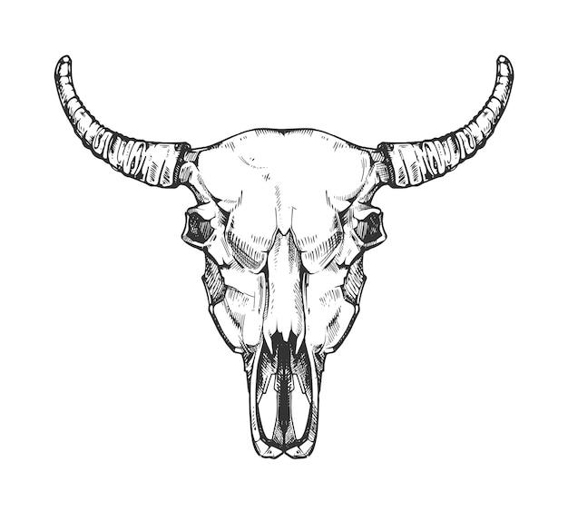 Vintage büffelschädel skizze. gezeichnete art der stiertierkopfknochen in der hand. kuhkopf mit horn