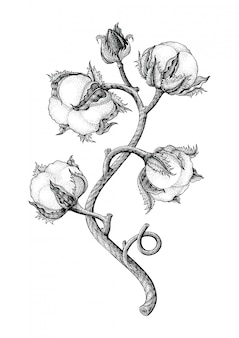 Vintage gravurart-isotale der baumwollpflanzenhandzeichnung auf weißem hintergrund