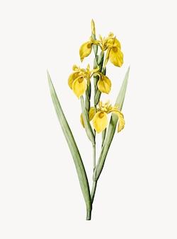 Vintage illustration von iris