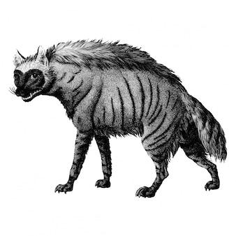 Vintage illustrationen der gestreiften hyäne