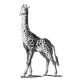 Vintage illustrationen der giraffe