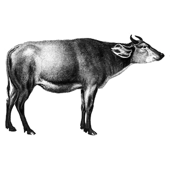Vintage illustrationen der kuh