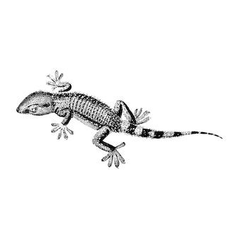Vintage illustrationen der lilford-schluckeidechse